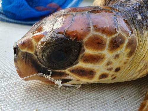 Napoli, salvata tartaruga che aveva ingerito un amo 3