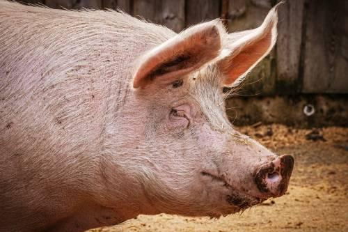 Cina, maiali grandi come orsi per far fronte alla carenza di carne