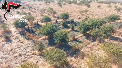 Manfredonia, coltivava marijuana: rumeno arrestato