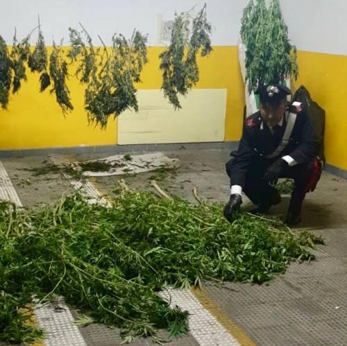 Marijuana a essiccare nel barchino, arrestato