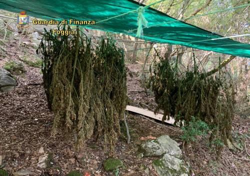 Rinvenute 60 piante di marijuana nel bosco di San Nicandro Garganico