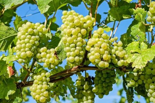 Mesotelioma, le cure sono più efficaci grazie ai semi dell'uva