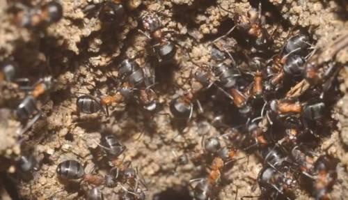 Polonia, scoperta una colonia di formiche cannibali in un ex bunker sovietico