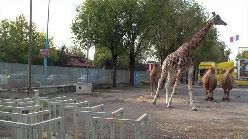 """Gli animali del circo """"parcheggiati"""" sull'asfalto 2"""