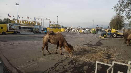 """Gli animali del circo """"parcheggiati"""" sull'asfalto 3"""