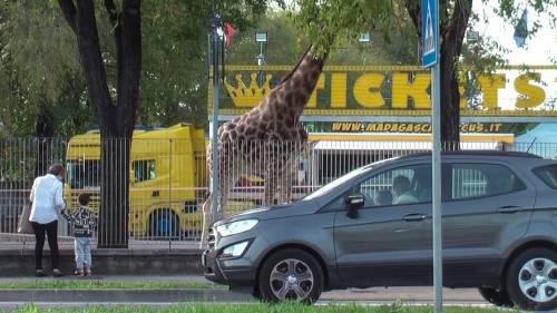 """Gli animali del circo """"parcheggiati"""" sull'asfalto 4"""