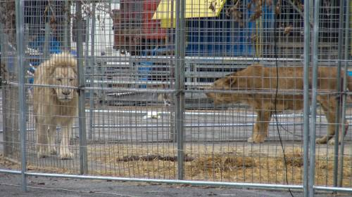 """Gli animali del circo """"parcheggiati"""" sull'asfalto 5"""