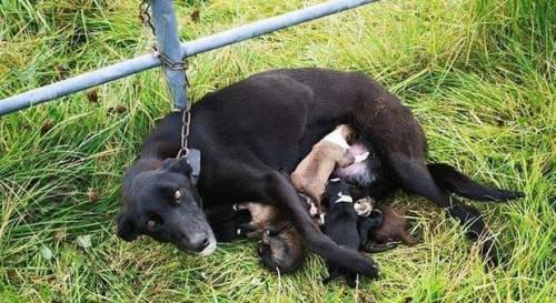 Incatenata e abbandonata con i cuccioli appena nati: salva la cagnetta