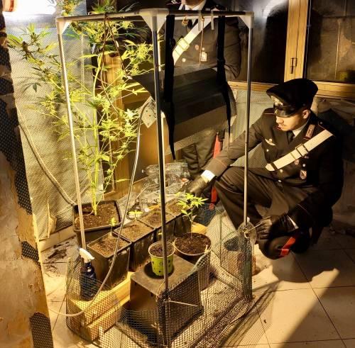 Serra di marijuana in casa scoperta nel Napoletano