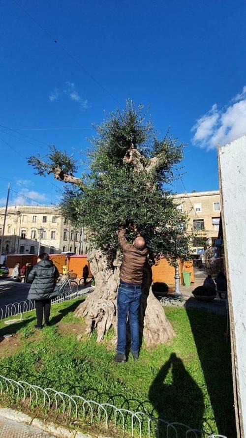 Lecce, le immagini dell'ulivo dopo l'innesto 5
