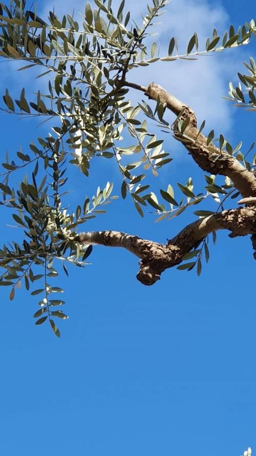 Lecce, le immagini dell'ulivo dopo l'innesto 4