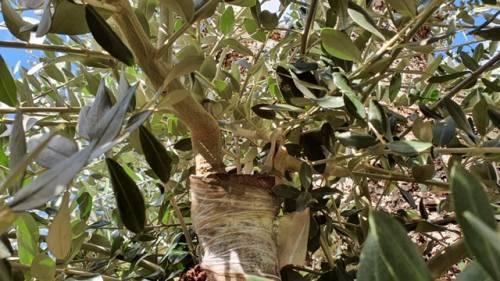 Lecce, le immagini dell'ulivo dopo l'innesto 2