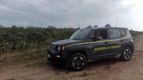 Scoperta piantagione di marijuana: sequestrata droga per 13 milioni di euro