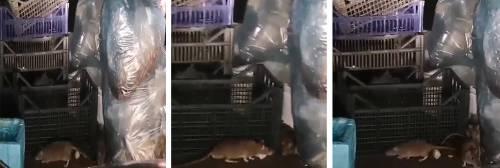 Degrado a Roma, topi invadono i cassonetti a viale Parioli