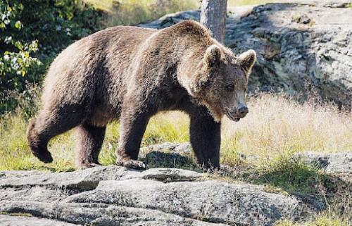 L'orso M49 si sveglia dal letargo, ricomincia l'inseguimento