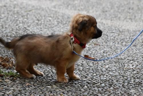 Coronavirus, morto il cane malato di Hong Kong