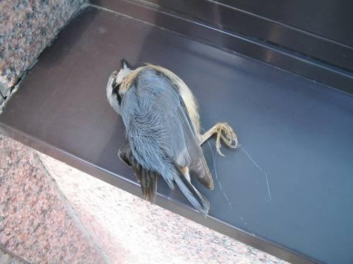 Germania, anomala moria di uccelli: è un patogeno, scatta la psicosi