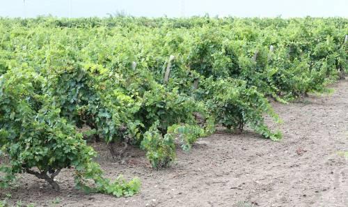 """""""Non ci sarà mai un vino Primitivo Dop o Igp siciliano"""""""