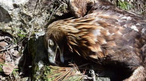 """Aquila uccisa nel nido. """"Taglia sul cacciatore"""""""