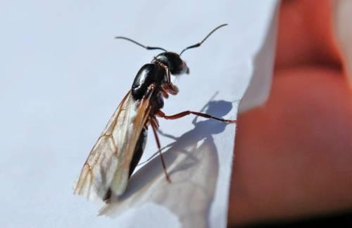 Treviso, negozi e bar chiusi: invasi dalle formiche volanti