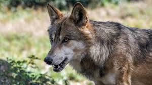 Il contadino russo contro il lupo: così lo ha strangolato a mani nude