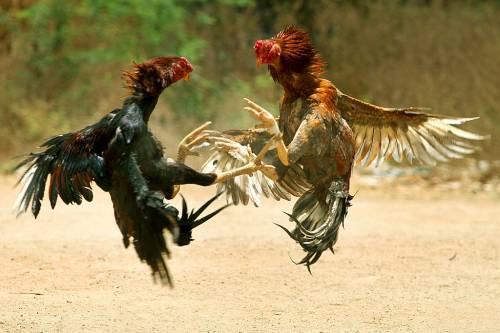 Organizza lotta tra galli, ma il suo fugge e lo pugnala