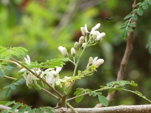 Moringa, tutti i benefici dell'albero dei miracoli