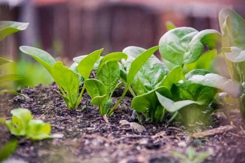 Spinaci, proprietà, benefici e falsi miti