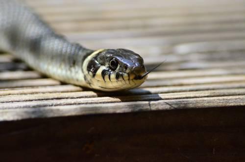 Australia, ragazza scopre un serpente letale nel suo inalatore per l'asma