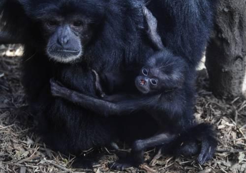 Abitudini e risate, cosa ci accomuna alle scimmie