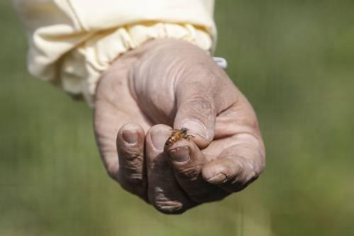 Api e vespe: cosa fare se pungono