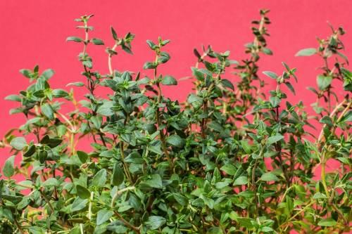 Timo, proprietà e caratteristiche dell'antica pianta aromatica