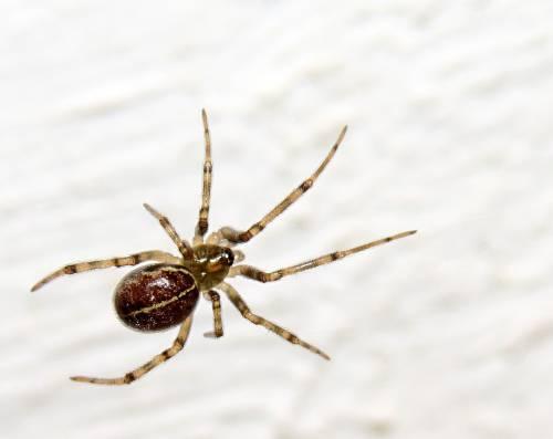 """È allarme ragni: la """"falsa vedova nera"""" fa paura"""