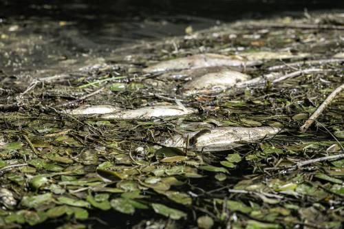 Il mistero dei pesci morti nel Tevere: cosa sta succedendo