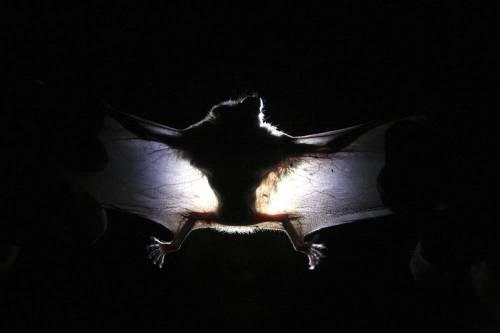 """""""Oltre 140 coronavirus tra i pipistrelli"""": ecco il serbatoio dei virus"""