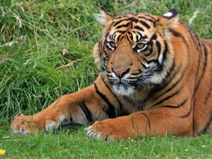 Cina, ok a ossa di tigri e rinoceronti in medicina tradizionale