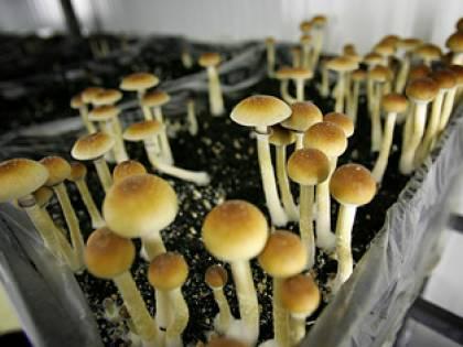 Piacenza, coltivava funghi allucinogeni in casa<br /> Arrestato un trentenne che organizzava i rave