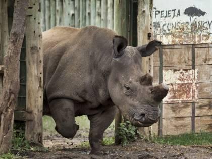 700 rinoceronti senza corno per salvarli dal bracconaggio