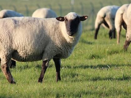 Non riesce più a vendere il latte: pastore sgozza l'intero gregge
