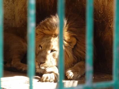 Roma, trovati tre leoni in un campo rom: residenti impauriti dai ruggiti notturni