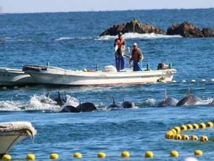 In Giappone inizia la mattanza, uccisi i primi 20 delfini