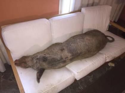 Trovano un maiale in casa disteso a dormire sul divano