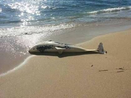 A Taranto trovate sulla spiaggia carcasse di delfini e tartarughe