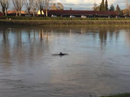 Pisa impazzita per il delfino in Arno. Ma il cetaceo è malato oppure no?