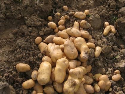 Agricoltura, l'ultima invasione: la patata egiziana