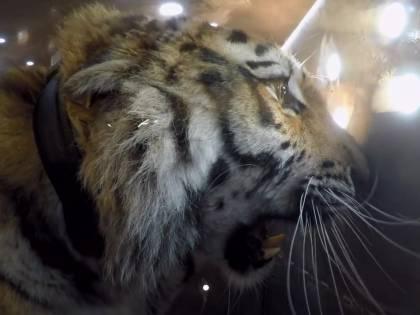 Il raro video del rilascio di una tigre siberiana