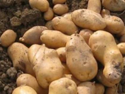 Truffava vendendo patate