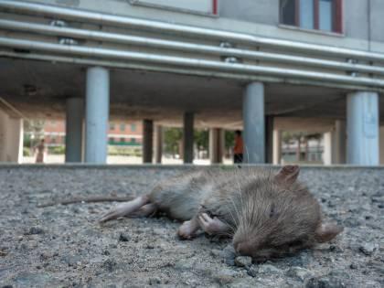 Bologna, topo cade in testa a una maestra mentre fa lezioni alle elementari