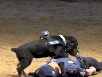 Il cane eroe della polizia fa il massaggio cardiaco all'agente svenuto (per finta)