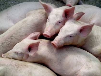 Ha un attacco epilettico nel porcile, i maiali la divorano viva